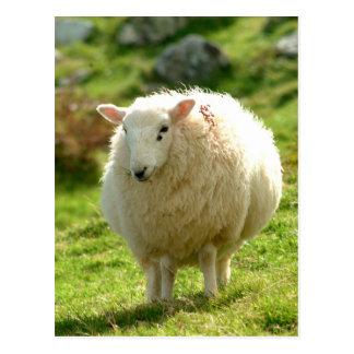 Ring of Kerry Sheep Postcard
