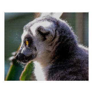 Ring Tail Lemur Photo Posters