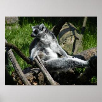 Ring-Tail Lemur Poster