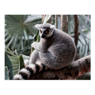 Ring Tail Lemur Wildlife Animal Photo Postcard