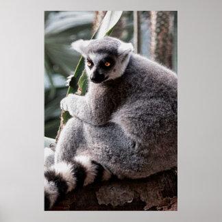 Ring Tail Lemur Wildlife Animal Photo Poster