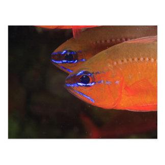Ring-tailed Cardinalfish Apogon aureus) Milne Postcard