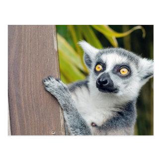Ring-tailed Lemur beautiful photo postcard