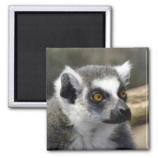 Ring-Tailed Lemur Close Up Portrait 2 Inch Square Magnet
