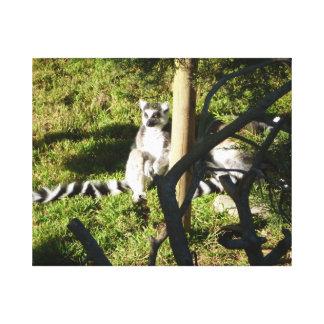 Ring Tailed Lemur Closeup Canvas Prints