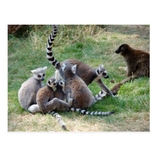 Ring tailed lemur family postcard