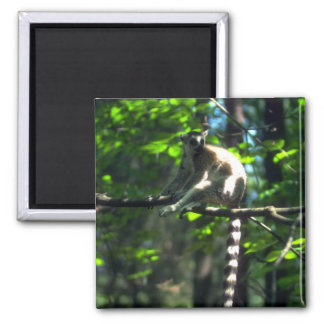Ring-Tailed Lemur in tree Refrigerator Magnets