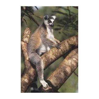 Ring-Tailed Lemur (Lemur Catta), Berenty Canvas Print