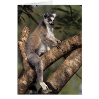 Ring-Tailed Lemur (Lemur Catta), Berenty Card