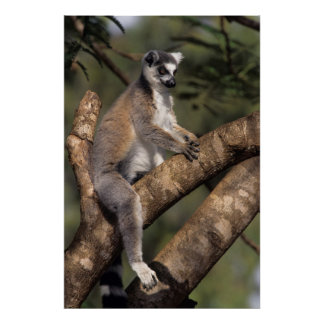 Ring-Tailed Lemur (Lemur Catta), Berenty Poster