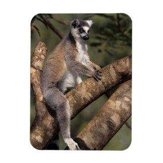 Ring-Tailed Lemur (Lemur Catta), Berenty Rectangular Photo Magnet
