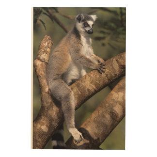 Ring-Tailed Lemur (Lemur Catta), Berenty Wood Wall Art