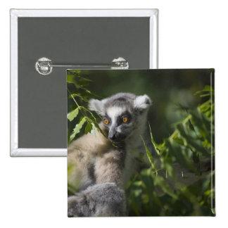 Ring tailed lemur (Lemur catta), Madagascar Button