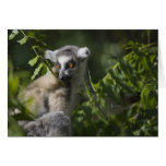 Ring tailed lemur (Lemur catta), Madagascar Greeting Card