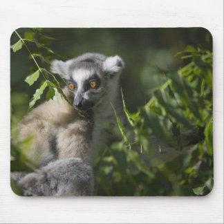 Ring tailed lemur (Lemur catta), Madagascar Mouse Pad