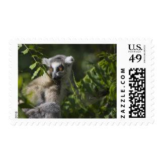 Ring tailed lemur (Lemur catta), Madagascar Postage Stamp