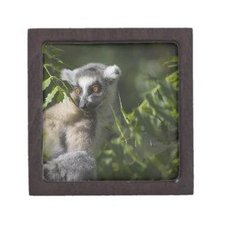 Ring tailed lemur (Lemur catta), Madagascar Premium Jewelry Boxes