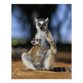 Ring-tailed Lemur, (Lemur catta), Mother and Poster