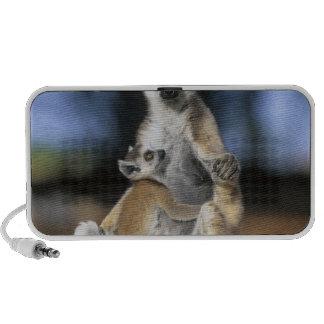 Ring-tailed Lemur, (Lemur catta), Mother and Speaker System