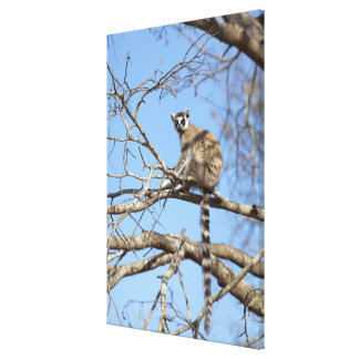 Ring-tailed Lemur Lemur catta warming in tree Gallery Wrapped Canvas