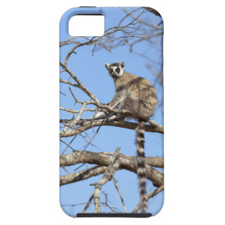 Ring-tailed Lemur Lemur catta warming in tree iPhone 5 Covers