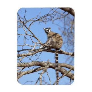 Ring-tailed Lemur (Lemur catta) warming in tree Magnet