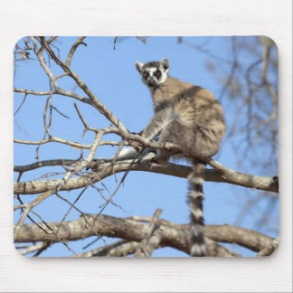 Ring-tailed Lemur (Lemur catta) warming in tree Mouse Pad