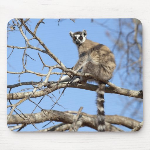 Ring-tailed Lemur (Lemur catta) warming in tree Mousepads