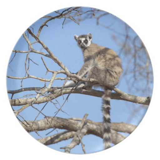 Ring-tailed Lemur (Lemur catta) warming in tree Party Plates