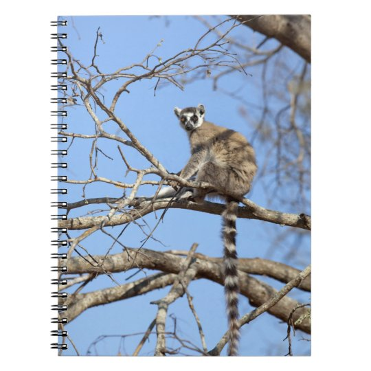 Ring-tailed Lemur (Lemur catta) warming in tree Spiral Notebook