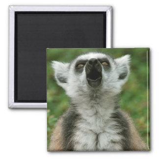 Ring-Tailed Lemur Magnet