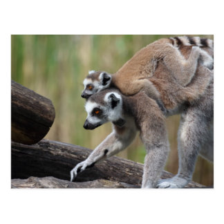 Ring-Tailed Lemur Mother And Baby Postcard