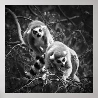 Ring Tailed Lemur Poster/Print Poster