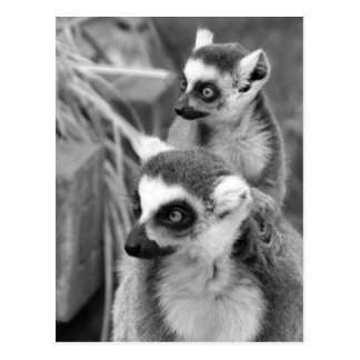 Ring-tailed lemur with baby black and white postcard