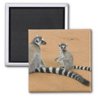 Ring-tailed Lemurs, (Lemur catta), Berenty 2 Inch Square Magnet