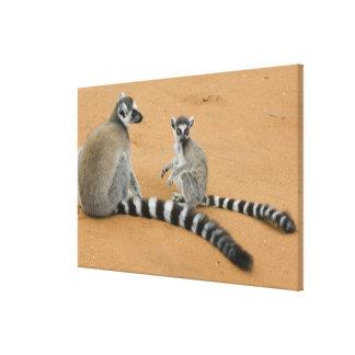 Ring-tailed Lemurs, (Lemur catta), Berenty Canvas Print