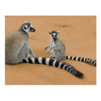 Ring-tailed Lemurs, (Lemur catta), Berenty Postcard