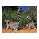 Ring-Tailed Lemurs (Lemur Catta), Berenty Postcard