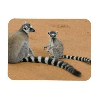 Ring-tailed Lemurs, (Lemur catta), Berenty Rectangular Photo Magnet