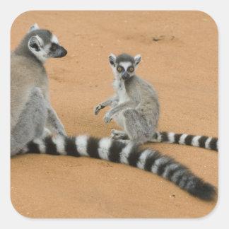 Ring-tailed Lemurs, (Lemur catta), Berenty Square Sticker