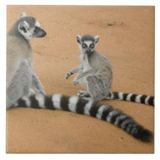 Ring-tailed Lemurs, (Lemur catta), Berenty Tile