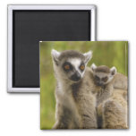 Ring-tailed lemurs (Lemur catta) Mother & baby. 2 Inch Square Magnet