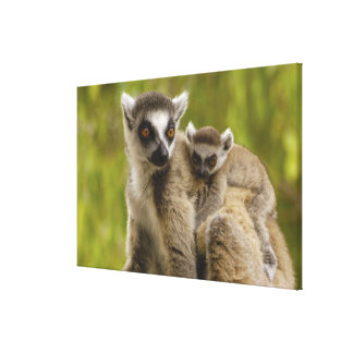 Ring-tailed lemurs Lemur catta Mother baby Stretched Canvas Prints