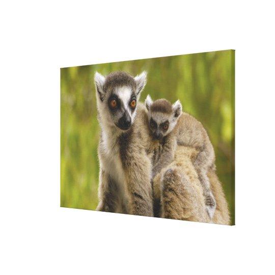 Ring-tailed lemurs (Lemur catta) Mother & baby. Canvas Print