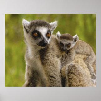 Ring-tailed lemurs (Lemur catta) Mother & baby. Poster