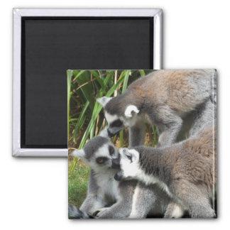 Ring Tailed Lemurs Magnet