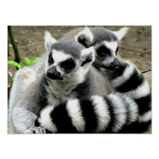 Ring-Tailed Lemurs Poster