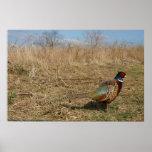Ringneck Pheasant Poster