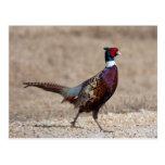 Ringnecked Pheasant Postcard