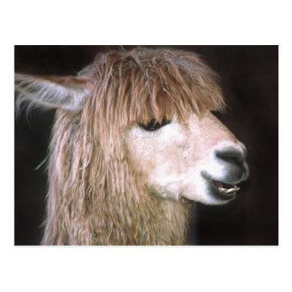 Ringo la postal de la alpaca